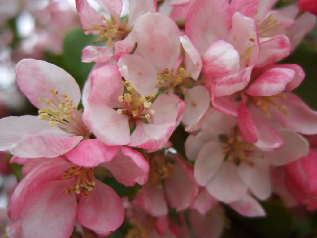 Apple Flowers In The Spring