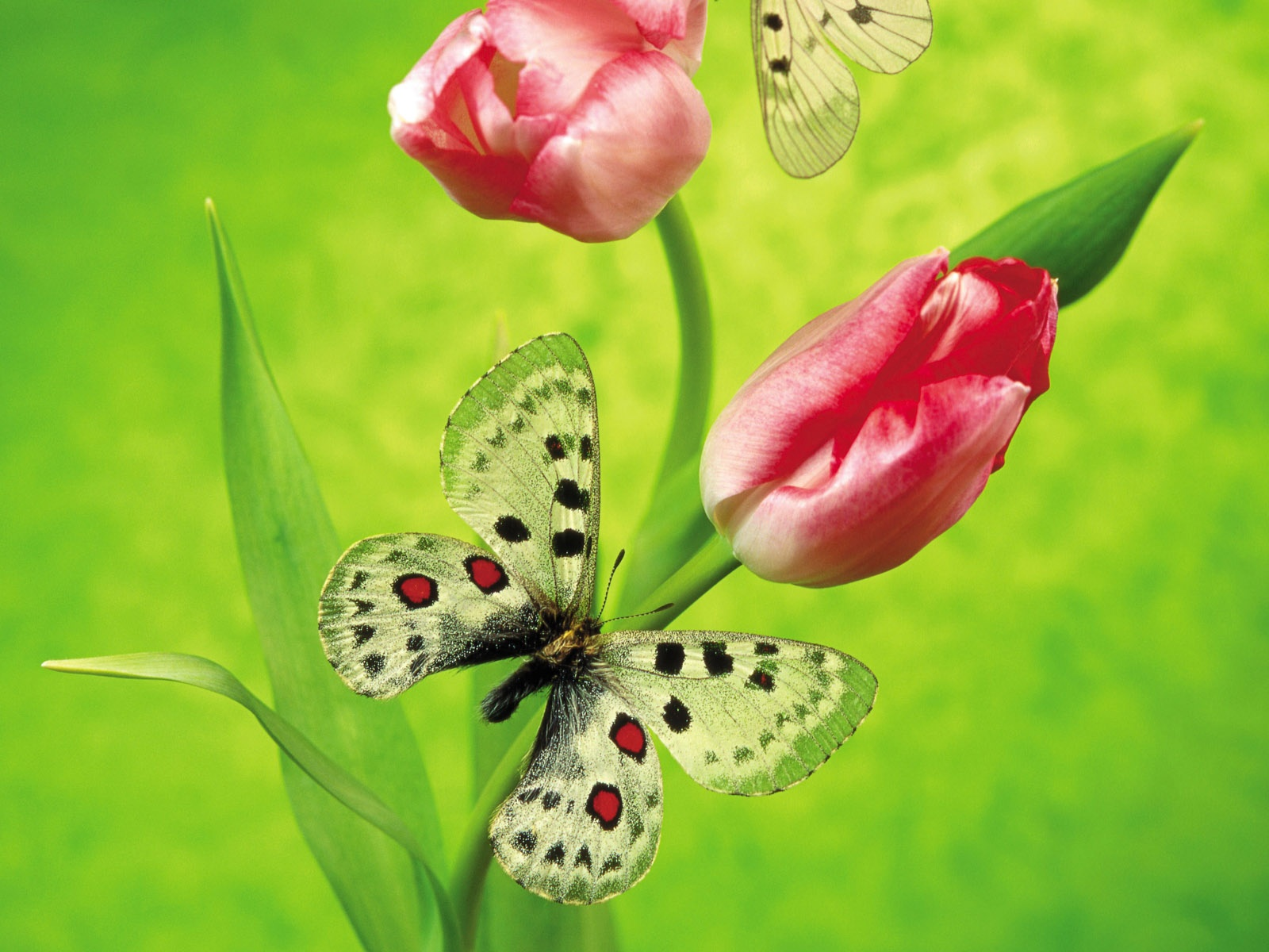 Butterfly On A Tulip