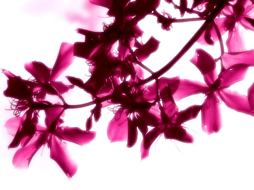 Pink Flowers On White